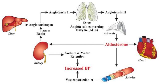 a vese magas vérnyomásának mechanizmusa)