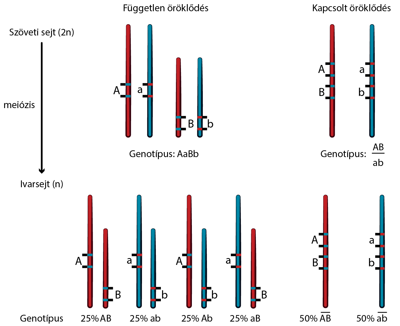 magas vérnyomás gén recesszív