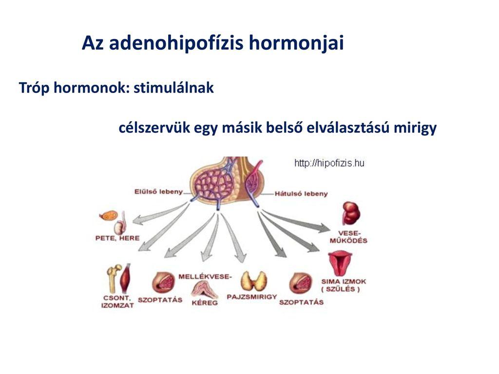 szimpato-mellékvese rendszer és magas vérnyomás