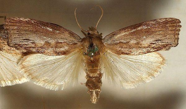 Moly viasz kezeli a gyomorhurutot, a hörghurutot, a tüdőgyulladást és a hasnyálmirigygyulladást.