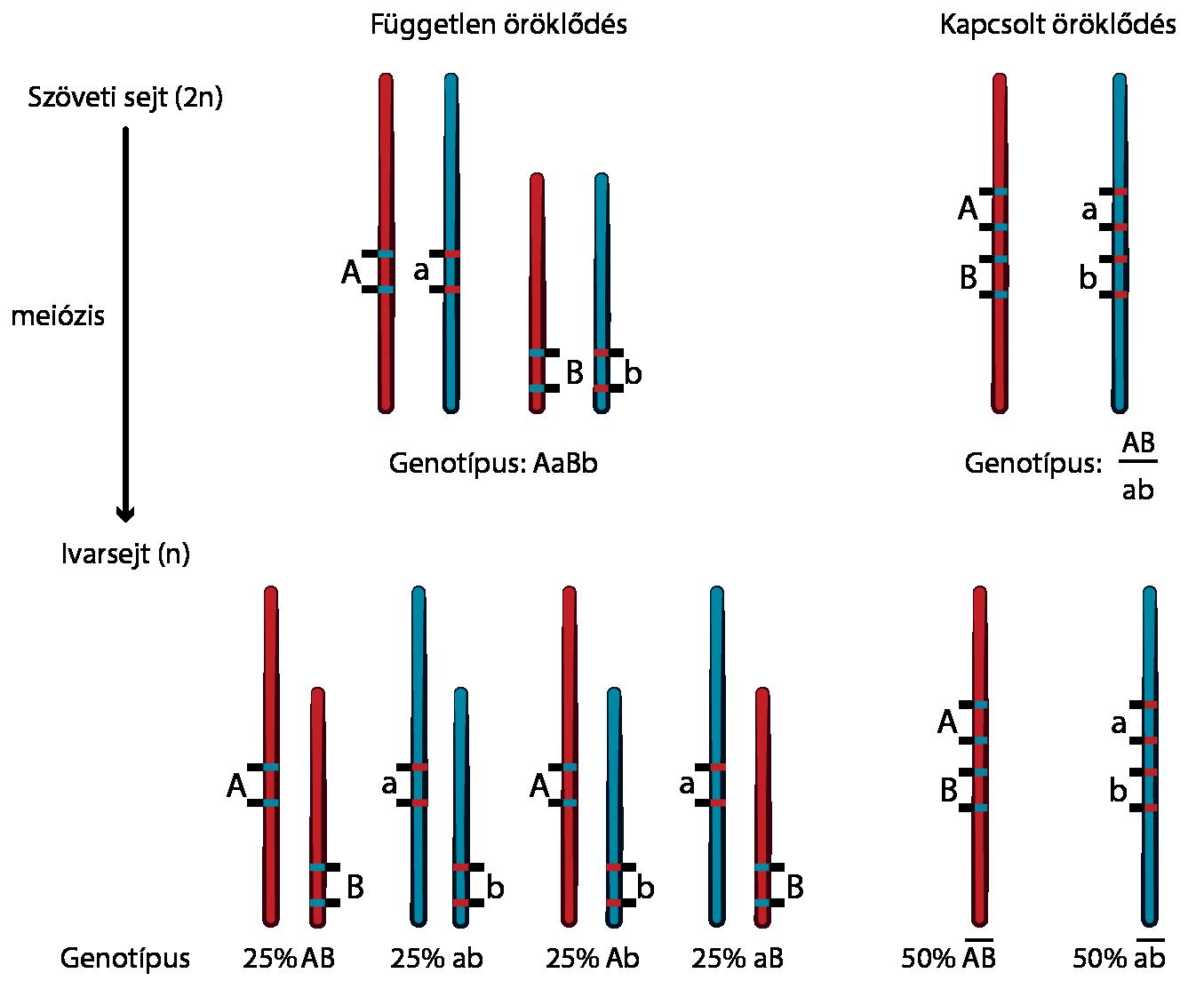 Az emberi genom - Az örökletes betegségek - MeRSZ