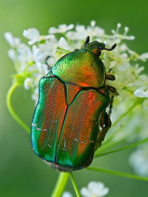 gyógyító bogarak magas vérnyomásban)