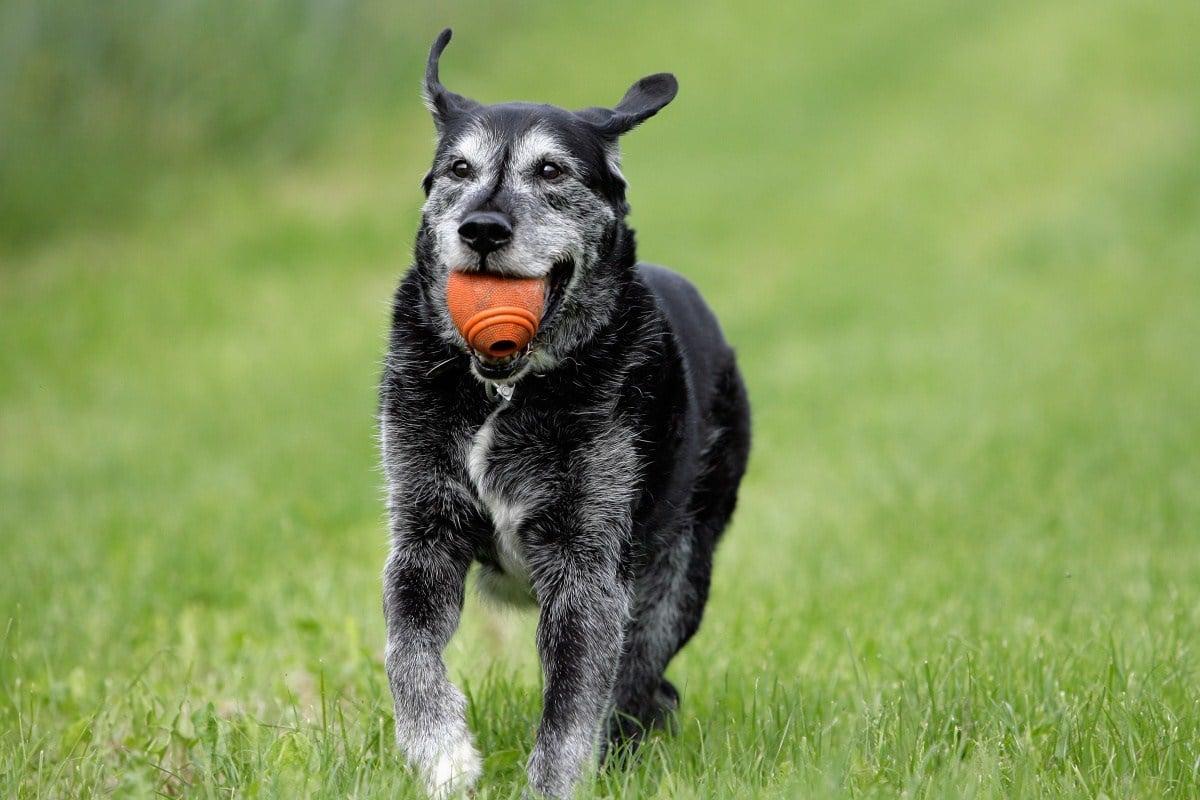 A hipertermia tünetei és kezelése kutyáknál