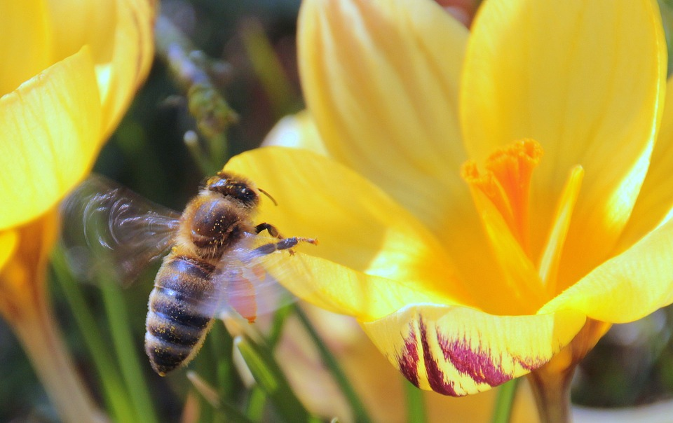 mezei méh a magas vérnyomás kezelésében
