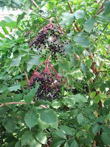 Györgytea Fekete bodza (Sambucus nigra) - Györgytea gyógynövény leírás